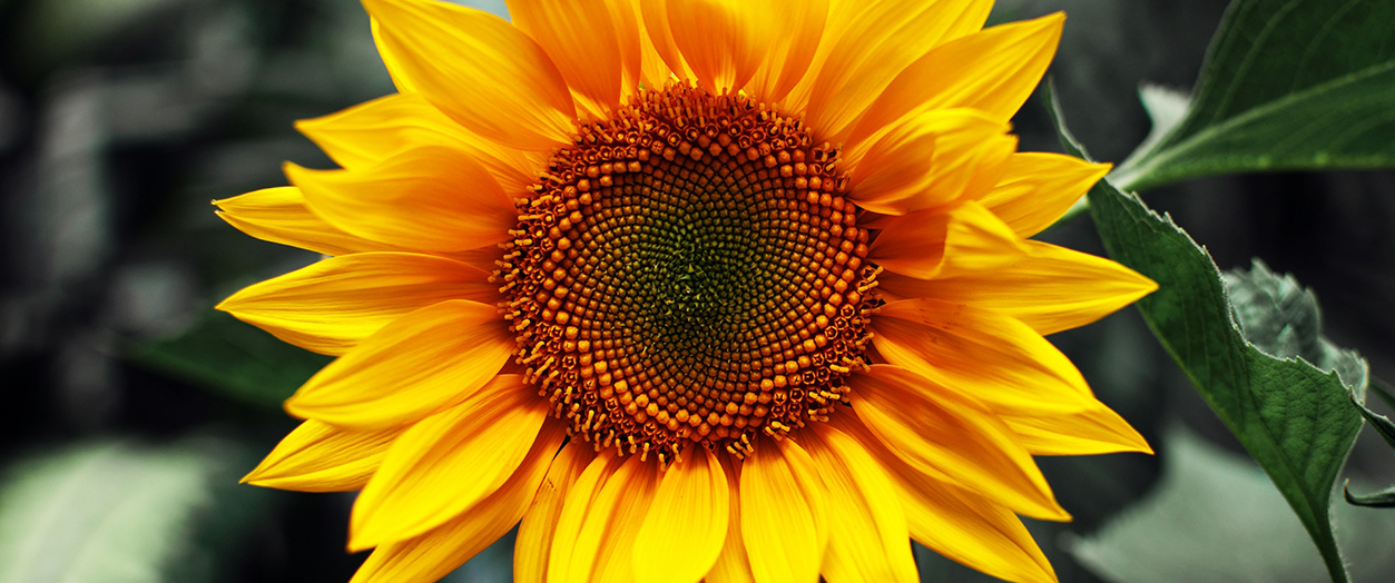 Placeholder Sunflower